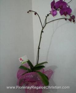 Planta de Orquidea, varios colores.