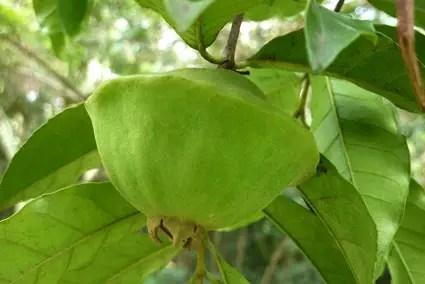 Resultado de imagem para fruto cambuci arvores de sao paulo