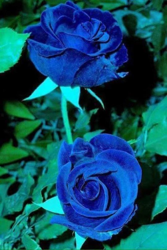 Imagenes de rosas azules para el celular