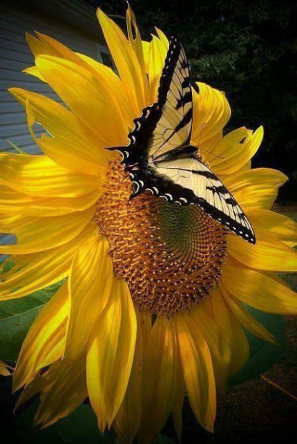 Fondosde celular de flores amarillas con mariposas