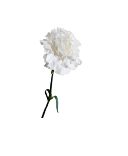 clavel-blanco