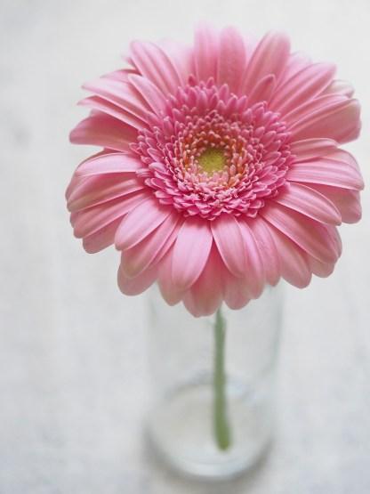 gerberas-rosas