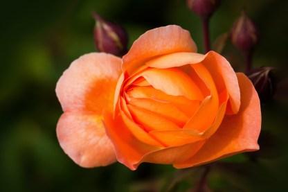 rosa-naranja-2