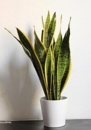 Lengua de tigre. Beneficios de las plantas de interior.