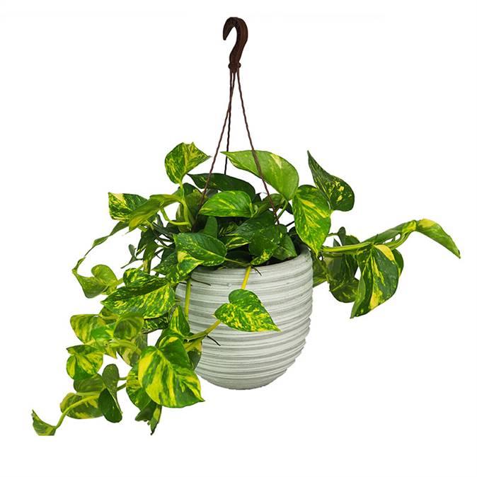 Poto. Beneficios de las plantas de interior.