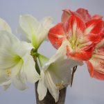 amaryllis rojo y blanco