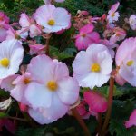 begonia rosa claro