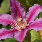 clematis rosa y morada