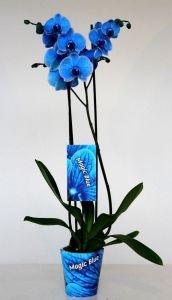 Phalenopsis color azul P.V.P: 35€