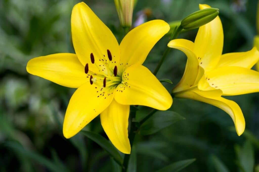 Fascinating Meaning And Symbolism Of Lily Flowers And Colors Florgeous