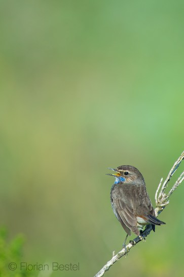 Gorge bleue à miroir / Bluethroat / Luscinia svecica