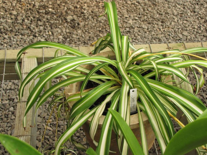 Yellowing Spider Plant Leaves