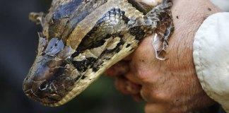 80 Reptiles Caught in Miami Super Bowl Burmese Python Hunt