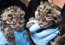 Zoo Miami shows off clouded leopard kittens born on Feb. 11