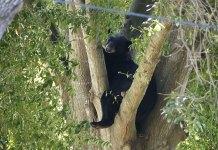 Gov. DeSantis stiffens penalties against bear poaching