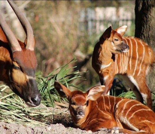 Bongo babies! Endangered antelopes born at Florida zoo