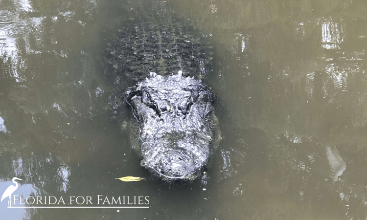 Alligators can become aggressive during Florida's alligator mating season