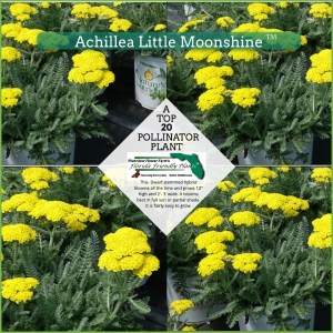 Achillea Little Moonshine plants in bloom