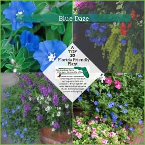 Blue Daze plants in bloom