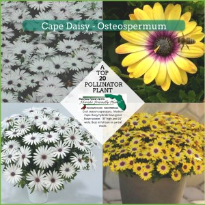 Cape Daisy Osteospermum plants in bloom