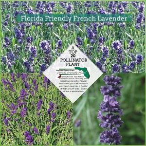 Florida Friendly French Lavender plants in bloom