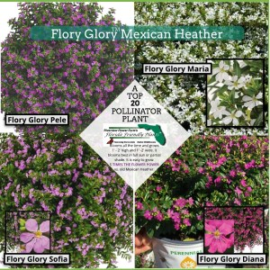 Flory Glory Mexican Heather plants in bloom