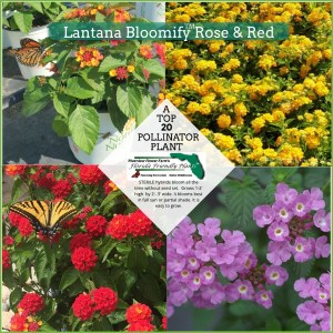 Lantana Bloomify Rose, Lantana Bloomify Red, Lantana New Gold, Lantana Spreading Lavender plants in bloom