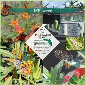 Milkweed plants in bloom and monarch butterflies