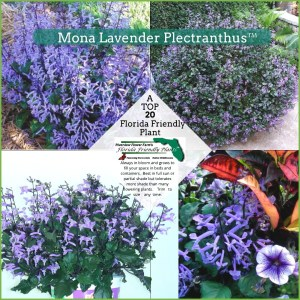 Mona Lavender Plectranthus plants in bloom