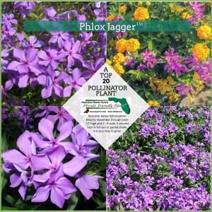 Phlox Jagger plants in bloom