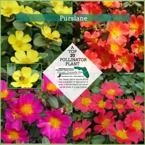 Purslane plants in bloom