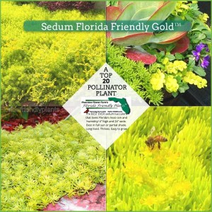 Sedum Florida Friendly Gold plants in bloom