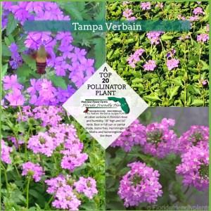 Tampa Verbain plants in bloom
