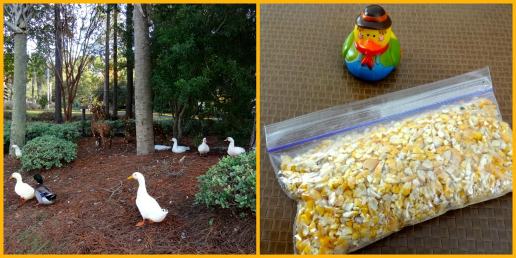 Feeding the Ducks with Provided Corn at Marriott's SurfWatch