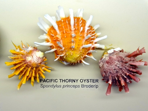 Colorful Pacific Thorny Oyster at Bailey-Matthews
