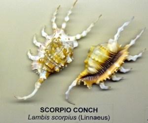 Scorpio Conch at Bailey-Matthews (Lambis scorpius)