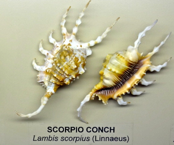 Scorpio Conch at Bailey-Matthews (Lambis scorpius)