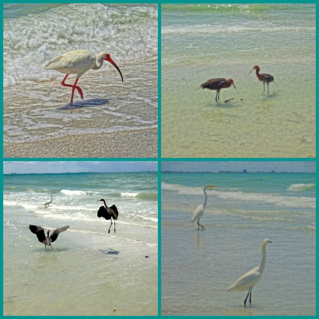 Bird Watching on the Gulf of Mexico Shoreline on Sanibel Island