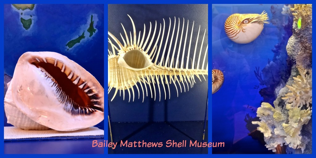 A trio of rare and unique shells at Bailey Matthews Shell Museum
