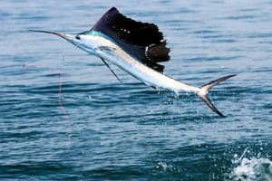 Sailfish keys fish
