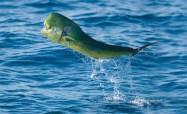 Dolphin Fish Jumping