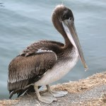 Brown Pelican Very Young