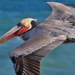 Brown Pelican Adult Soaring