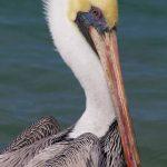 Brown Pelican Adult