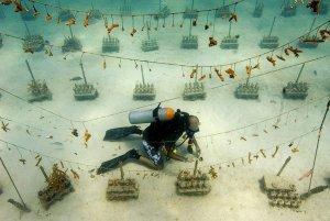 Coral Reef Nursery Florida Keys Reefs