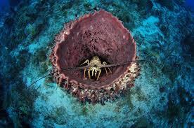 Barrel Sponge with Lobster