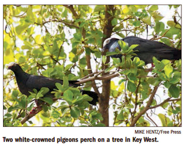 Protecting The White Crowned Pigeon