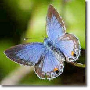 Miami Blue Butterfly Florida Keys Butterflies