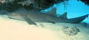 Florida Keys Sharks Nurse
