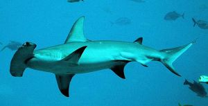 Florida Keys Sharks Hammerhead